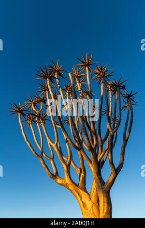 Quiver Tree or Aloidendron dichotomum, Quiver Tree Forest, Keetmanshoop, Karas, Namibia - Stock Photo