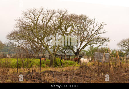 A rural scene where three horses appear grazing in winter morning within a stable area. Leafy trees filled with leaves of unlined branches appear in t - Stock Photo