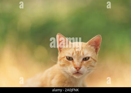 smooth-haired ginger cat portrait, close-up face with an interesting look, natural background of the summer garden in blur - Stock Photo