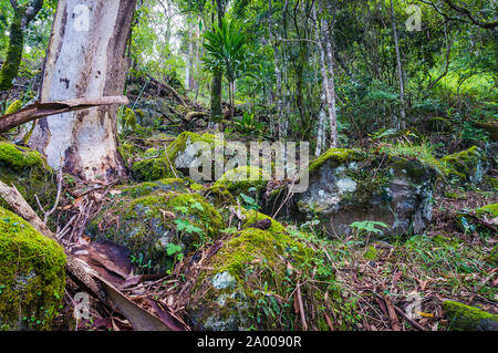 Ancient Gondwana rainforest. Nature, rainforest in Lamington National Park, Queensland, Australia. Nature background of tropical rainforest - Stock Photo