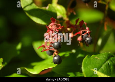 salad - healthy berries found in the rainforest of British Columbia