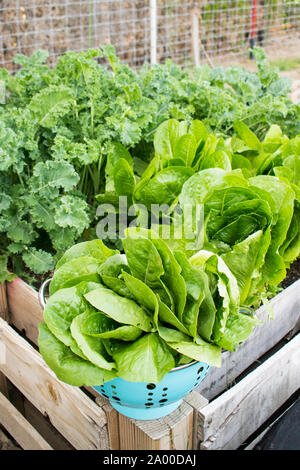 harvesting kale and lettuce patch growing in a raised garden bed made of pallets on a homestead vegetable garden - Stock Photo