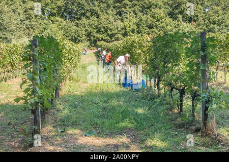 Farm workers in the vineyard rows harvesting bunches of black grapes - Stock Photo