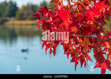 Colorful red Japanese maple leaves against blue water on the background. Nature leaves texture - Stock Photo