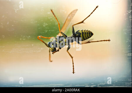 wasp on a window, view of the under side - Stock Photo