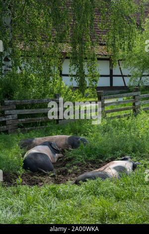 grazing Swabian Hall pig, wackershofen, schwaebisch hall, hohenlohe region, baden-wuerttemberg, heilbronn-franconia, germany