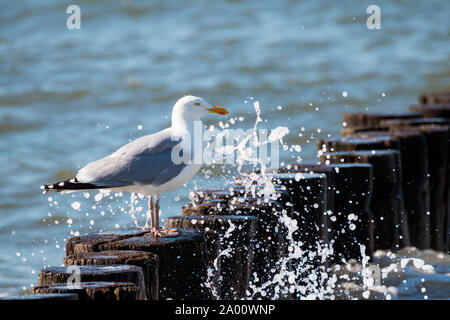 Herring Gull, Mecklenburg-Vorpommern, Germany, (Larus argentatus) - Stock Photo