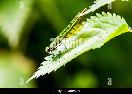 A green female Banded Demoiselle (Calopteryx splendens) resting on a leaf near the river - Stock Photo