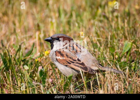 House sparrow, Zingst, Mecklenburg-Vorpommern, Germany, (Passer domesticus) - Stock Photo