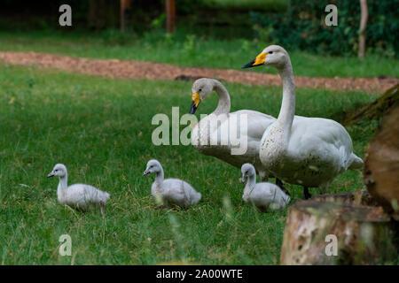 Whooper swans with cygnets, Schleswig-Holstein, Germany , (Cygnus cygnus) - Stock Photo