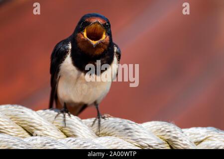 Barn swallow, Zingst, Mecklenburg-Vorpommern, Germany, (Hirundo rustica) - Stock Photo
