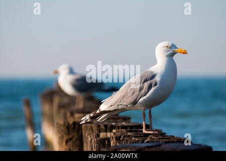 Herring Gull, Mecklenburg-Vorpommern, Germany, (Larus argentatus) - Stock Photo