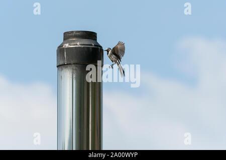 white wagtail, Natural park Munden, Lower Saxony, Germany, (Motacilla alba), M - Stock Photo