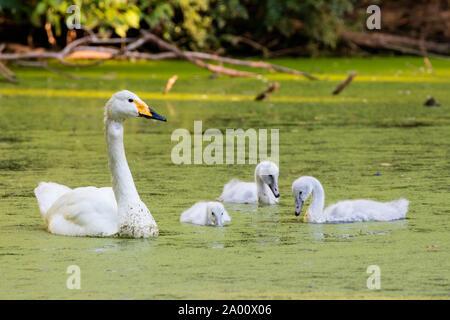 Whooper swan with cygnets, Schleswig-Holstein, Germany , (Cygnus cygnus) - Stock Photo