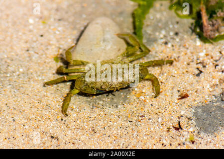 Carcinus maenas a common littoral crab,shore crab, green crab or European green crab. Under shallow water on the bottom of a rock pool in Lyme Regis - Stock Photo