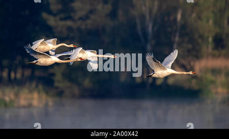 Mute Swans, Lusatia, Saxony, Germany, (Ardea cinerea) - Stock Photo