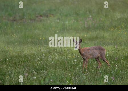 Roe Deer doe, Lusatia, Saxony, Germany, (Capreolus capreolus) - Stock Photo