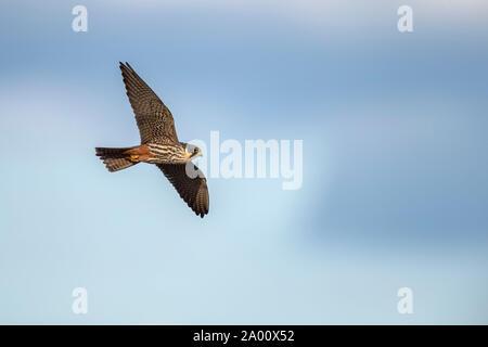 Red-footed Falcon, Lusatia, Saxony, Germany, (Falco vespertinus) - Stock Photo