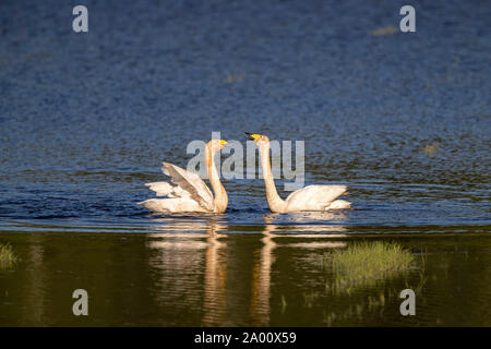 Whooper Swans, Lusatia, Saxony, Germany, (Cygnus cygnus) - Stock Photo