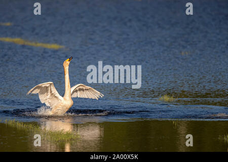 Whooper Swan, Lusatia, Saxony, Germany, (Cygnus cygnus) - Stock Photo
