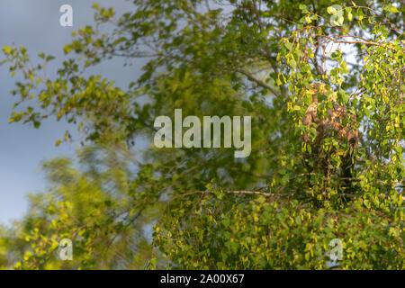 White-tailed Sea Eagle, Lusatia, Saxony, Germany, (Haliaeetus albicilla) - Stock Photo
