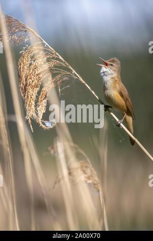 Great Reed Warbler, Lusatia, Saxony, Germany, (Acrocephalus arundinaceus) - Stock Photo