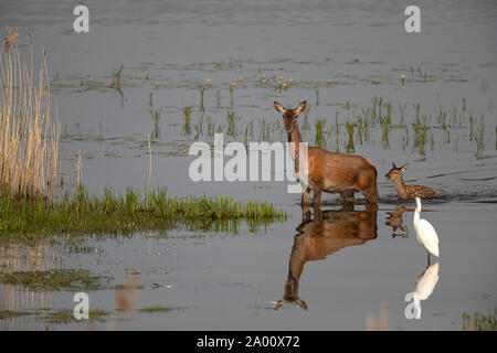 Red Deer, hind with young, Lusatia, Saxony, Germany, (Cervus elaphus) - Stock Photo