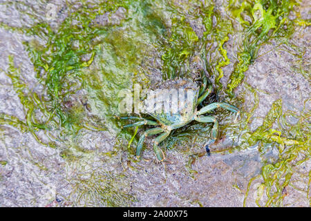 An unusual 2 tone coloured shore crab, carcinus maenas, moving over wet seaweed around rock pools at low tide. Lyme Regis. - Stock Photo