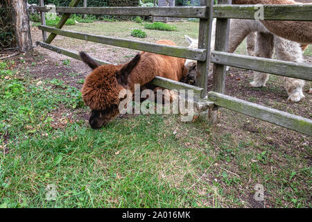 Alpacas, Vicugna pacos.eats grass outside fence.  South American Camelids at Alpaca Farm - Pinnow, Uckermark, Brandenburg,Germany