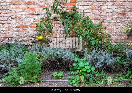 Tomato plants & herb garden against a rustic brick wall - Stock Photo
