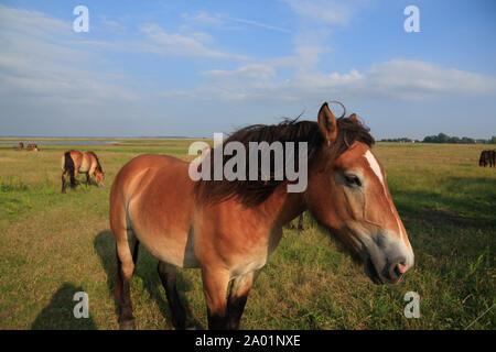 Horses , Hiddensee island, Baltic Sea, Mecklenburg Western Pomerania, Germany, Europe - Stock Photo
