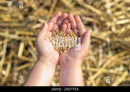 grain of the wheat in child's hands on a background of a wheaten field, concept of agricultural crops - Stock Photo