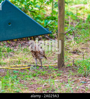Ten week old pheasant chick, (Phasianus colchicus) often known as a poult, drinking on a drinking system, after being released into a gamekeepers release pen on an English estate - Stock Photo