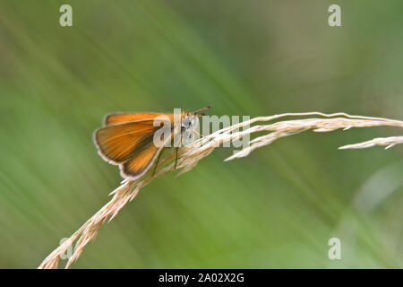Beautiful Essex skipper butterfly resting on a bending hay on a summer day - Stock Photo