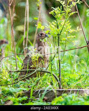 Ten week old pheasant chicks, (Phasianus colchicus) often known as poults, after being released into a gamekeepers release pen on an English estate - Stock Photo