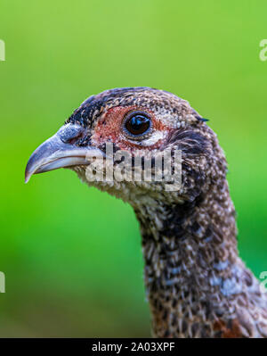 Portrait of a ten-week-old pheasant chick, (Phasianus colchicus) often known as a poult, after being released into a gamekeepers release pen - Stock Photo