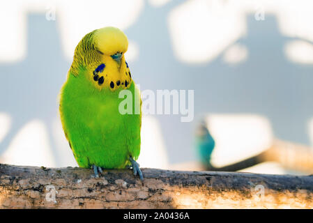 Bright green Budgerigar or Melopsittacus undulatus perching on tree in captivity - Stock Photo