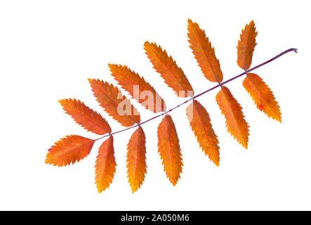 Colorful autumn Rowan leaf isolated on white background. - Stock Photo