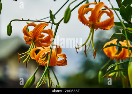 Tiger lily, Lilium lancifolium, with orange blossoms and long pistils and pollen stems, with closed and open blossoms, with blurred background. - Stock Photo