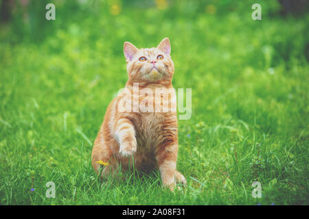 Funny red kitten sits on a green lawn with one paw up - Stock Photo