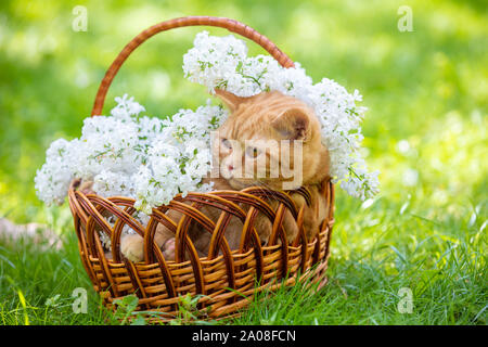 The cute ginger cat sits in a basket with white lilac flowers on the green lawn - Stock Photo