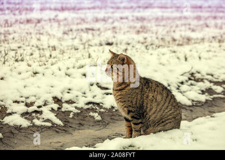 Cute tabby cat sits on a snowy field in winter - Stock Photo