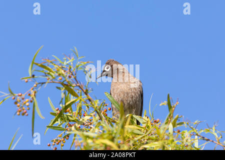 Cape Bulbul (Pycnonotus capensis) foraging for berries on a Karee Tree (Searsia lancea)  in winter, Western Cape, South Africa - Stock Photo
