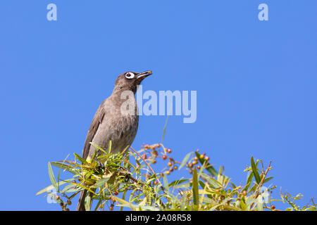Cape Bulbul (Pycnonotus capensis) eating  berries on a Karee Tree (Searsia lancea)  in winter, Western Cape, South Africa perched with berry in beak - Stock Photo