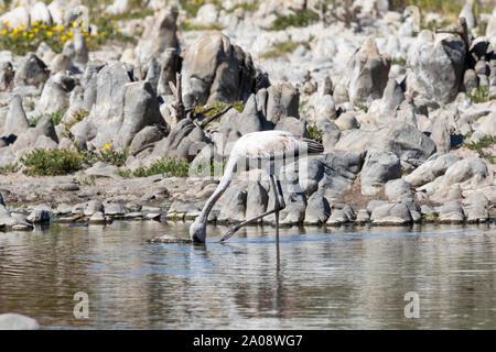 Juvenile Lesser Flamingo, (Phoeniconaias minor) foraging,  Vermont Salt Pan, Hermanus,  Western Cape, South Africa. Near Threatened species due to pop - Stock Photo