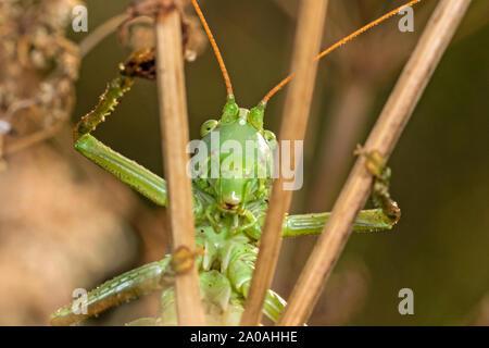 Male Great Green Bush-cricket (Tettigonia viridissima), Cambridgeshire, England - Stock Photo
