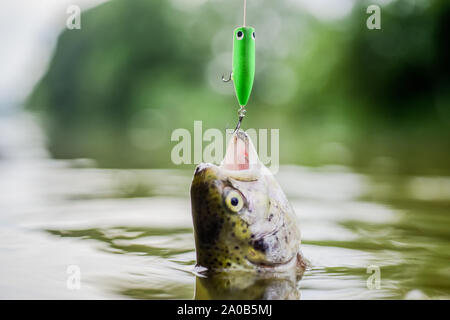 It is so big. fishing on lake. Good catch. trout bait. catch fish. fall into the trap. fly fishing trout. recreation and leisure. hobby and sport activity. fish on hook. stalemate and hopelessness. - Stock Photo
