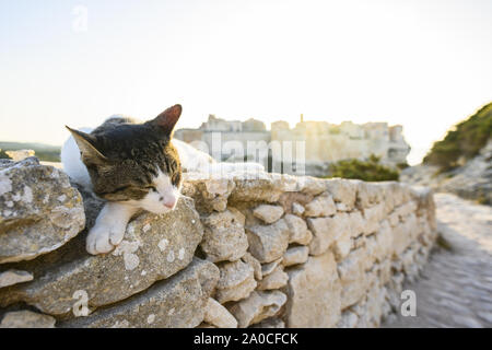 A beautiful white cat with a grey head is posing on a stone wall in front of the village of Bonifacio during a stunning sunset. Bonifacio, Corsica. - Stock Photo