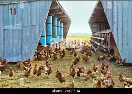 Free Range Chickens  'Gallus domesticus', organic egg production, portable chicken house. - Stock Photo