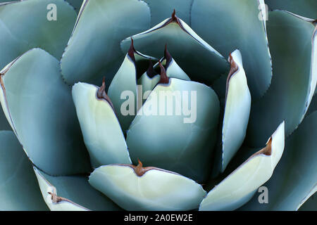 Overhead closeup of agave plant. Sharp, pointed, succulent agave leaves forming an abstract pattern. Background agave leaves with sharp thorns. - Stock Photo